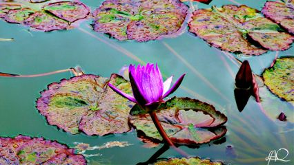 lotus peace beautiful beauty photography