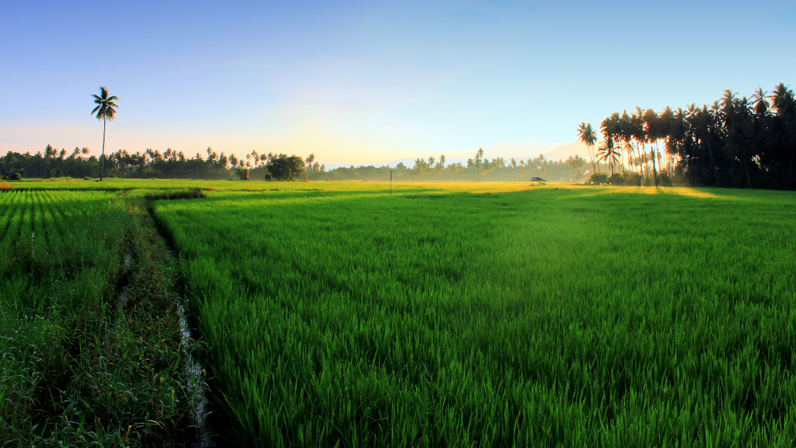 Good morning from the other side of earth, Rice field and feel the sunrise very peaceful place    #traveler #adventure  #centralsulawesi #poso #torangjalan2 #ricefield #photography #landscape #field #rice