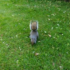 london hydepark scoiattolo squirrel