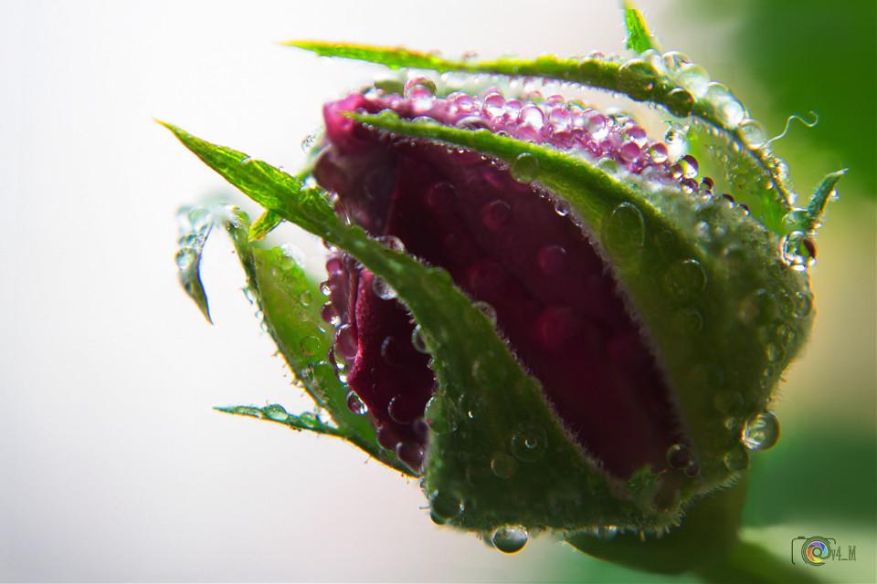 Rosebud  #flower #nature #macro #FocusStack