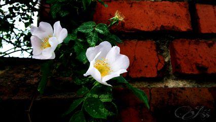 nature photography flower lgg2mini