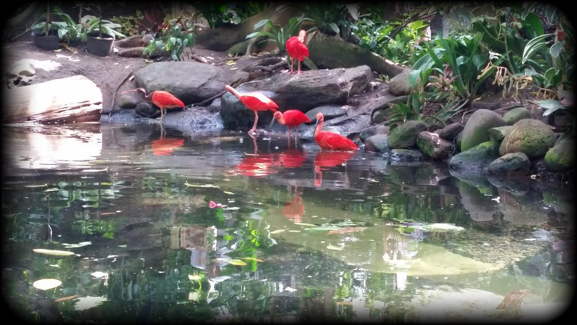 #moodygardens #flamingos