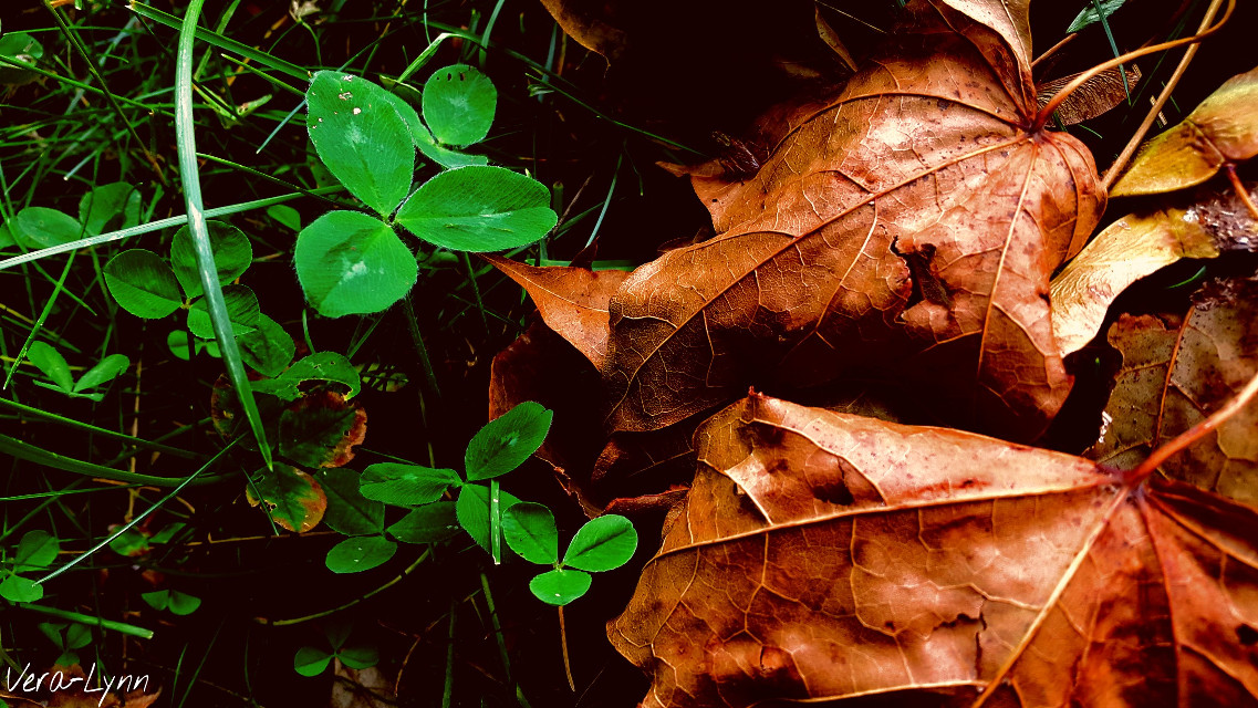 #dry  #brown #leaf #leafs #green  #grass #clover #park #field #nature #summer #outdoors #photography #close-up #color