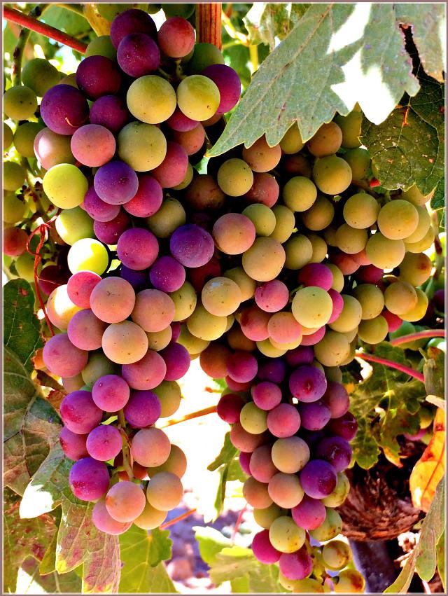 #colorful  #hdr  #grape  #fruit  #wine  #vineyard  #nature  #summer  #delicious  #travel  #tourism  #pedrosa  #pedrosadeduero  #riberadelduero  #photography  #beautifypicsart