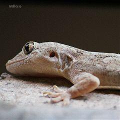 ear lizard hole waptiltshift scales