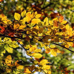 beech trees colouful leaves autumn