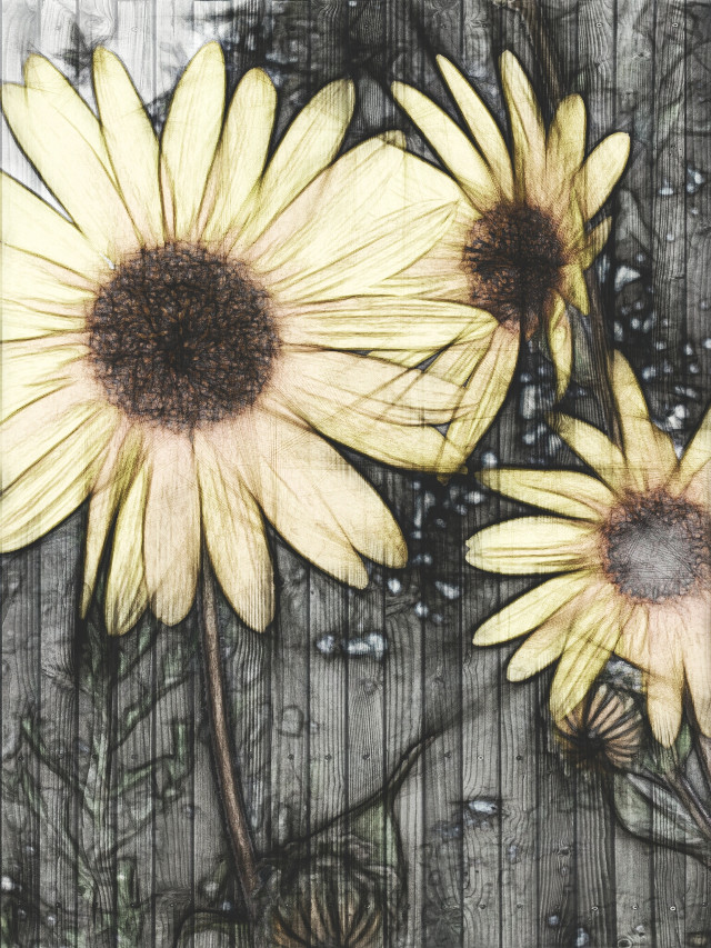 #flower #colorful #emotions #summer #papereffect Good morning my friends this is a reedit of my own sunflower pic. For the daily tag ☺ #pencilart